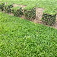 草块 草皮 草坪 湖南草坪 草坪基地