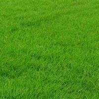 马尼拉草坪/湖南马尼拉草坪基地/马尼拉草坪促销价格