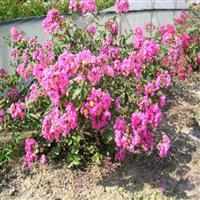 日本矮紫薇 矮生紫薇 矮化紫薇 矮生百日红 小痒痒树