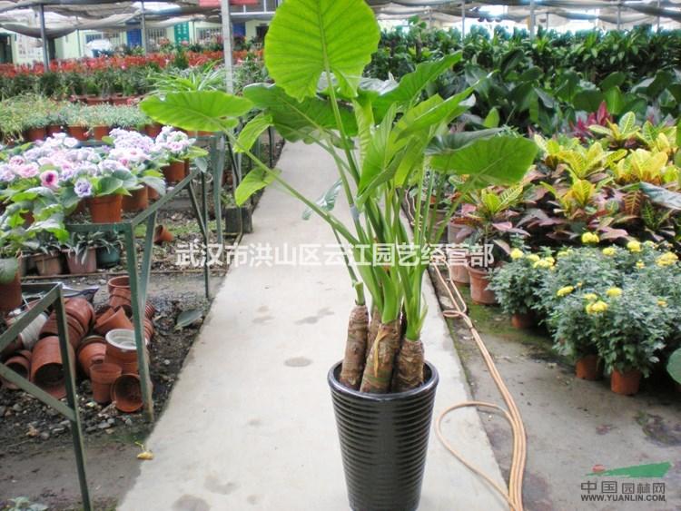 生态科技股份有限公司 产品供应 > 武汉大小型绿植滴水观音海芋盆栽