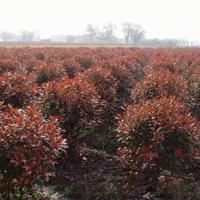 山东红叶石楠球种植基地