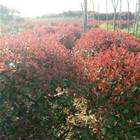 红叶石楠种植基地//红叶石楠球冠幅1米-1.2米价格