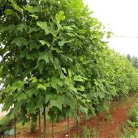 北美鹅掌楸的种植技术