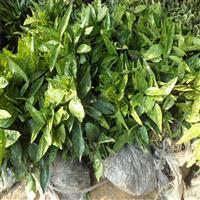 《桃葉珊瑚》 花葉青木 桃葉珊瑚的功效與作用
