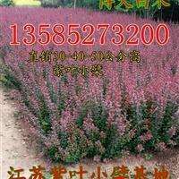 紫叶小檗价格高度30-35-40-50公分紫叶小檗工程苗价格