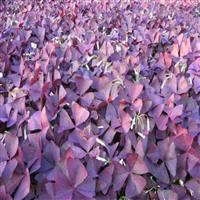 常年供应紫叶酢浆草  量大价格从优