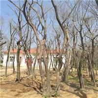 叢生樸樹的栽培技術
