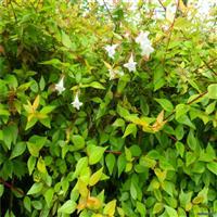 大花六道木的种植方法 与养殖注意事项