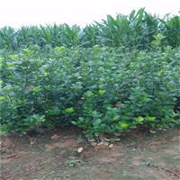 大叶扶芳藤的种植方法