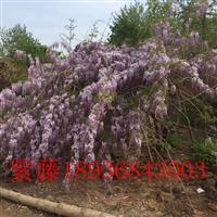 紫藤2公分多少钱一棵,紫藤1.5米高多少钱一株,紫藤哪里有卖