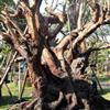 出售高档景观古树--红花玉蕊