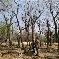 叢生樸樹的主要價值