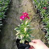 杭州萧山自有基地自产自销 紫罗兰