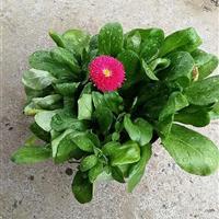 杭州萧山自有基地自产自销 120盆大蓬型雏菊