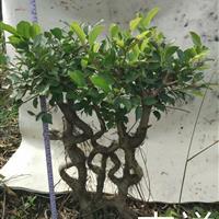 艺术造型榕树盆景盆栽