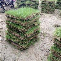 马尼拉草卷冬季什么价格,马尼拉草皮涨价了,马尼拉四块二一捆