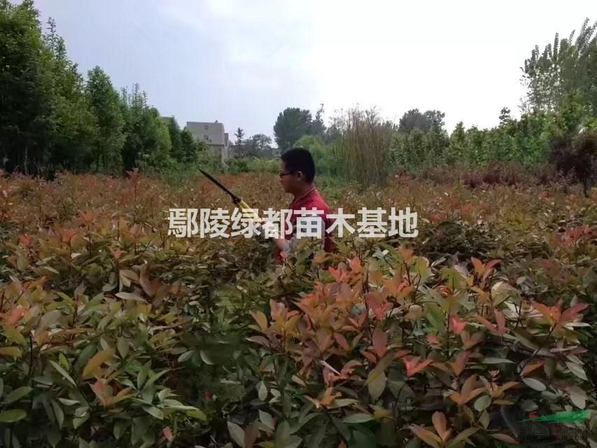 出售独杆月季,金森女贞,金森女贞球,桂花树,竹子,腊梅,红梅