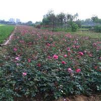 丰花月季多少钱一棵,丰花月季哪里有卖,丰花月季50公分绿篱苗
