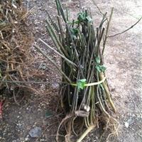 构树苗多少钱一株,构树哪里有卖,构树小苗哪里便宜?