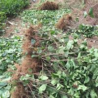 丁香80公分高多少錢一棵,丁香苗哪里有賣,丁香1米高哪里便宜