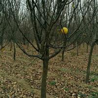 3-20公分木瓜海棠|河南木瓜海棠