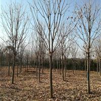河南七叶树|8-20公分七叶树