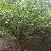 河南山茱萸|山茱萸绿化树