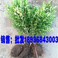 小叶黄杨50公分高多少钱,瓜子黄杨哪里便宜,小叶黄杨最低价格