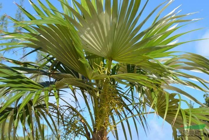 棕树杆高2-3米,棕榈价格是多少