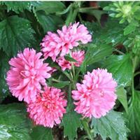 江苏沭阳批发翠菊种子(混色)矮杆红色 粉色 蓝色 玫红 白色