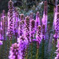 江苏沭阳批发蛇鞭菊种子(紫色)