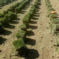 湖南郴州小清草皮基地供应马尼拉 马尼拉草坪 马尼拉草