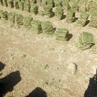 湖南郴州小清草皮基地常年供应马尼拉草坪