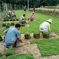 郴州马尼拉草坪 马尼拉草皮 马尼拉供应 马尼拉草坪价格