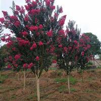 浙江金华澧浦供应大量紫薇,品种有三四种