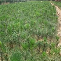 常年供应白皮松 专业培植  适应性强 抗强风 品种优良