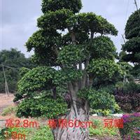 福建漳州快乐赛车开奖造型榕树