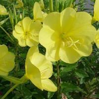 江苏沭阳批发供应花卉种子月见草种子(黄色)美丽月见草种子粉色