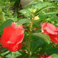 江苏沭阳批发供应凤仙花种子(红色)