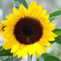 江苏沭阳批发供应花卉种子向日葵种子 玩具向日葵种子