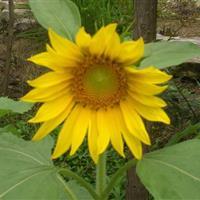 江苏沭阳批发供应迷你向日葵 多头向日葵种子 单头向日葵种子
