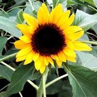 江苏沭阳批发供应黑心向日葵种子 油葵向日葵 食用向日葵 黄色