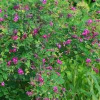 江苏沭阳批发供应胡枝子种子 果桑种子 大花秋葵 紫穗槐种子