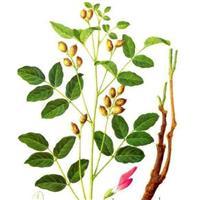 江苏沭阳批发供应药材种子甘草种子 药用紫花地丁种子牛蒡子种子
