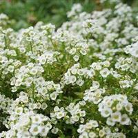 江苏沭阳批发供应花卉种子香雪球种子(混色 白色)