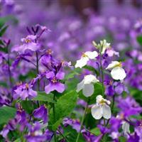 江苏沭阳批发供应花卉种子二月兰种子(蓝色)