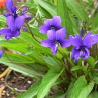 江苏沭阳批发供应花卉种子紫花地丁种子(紫色)