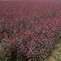 紫叶矮樱报价,丛生紫叶矮樱,带盆紫叶矮樱种植基地