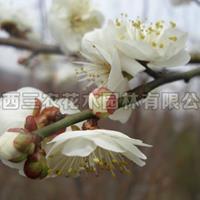 梅花苗梅花树梅花基地_三轮玉碟梅介绍