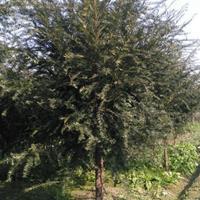 供應南方紅豆杉、南方紅豆杉苗、南方紅豆杉樹、南方紅豆杉工程苗